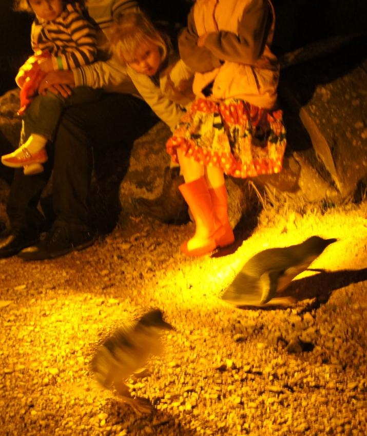 Fairy Penguin Night tour  @ Low head